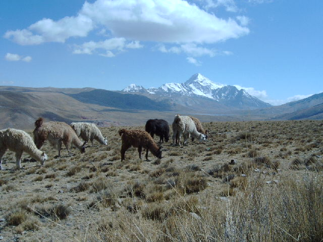 Llama Herde auf dem Weg zum Chacaltaya
