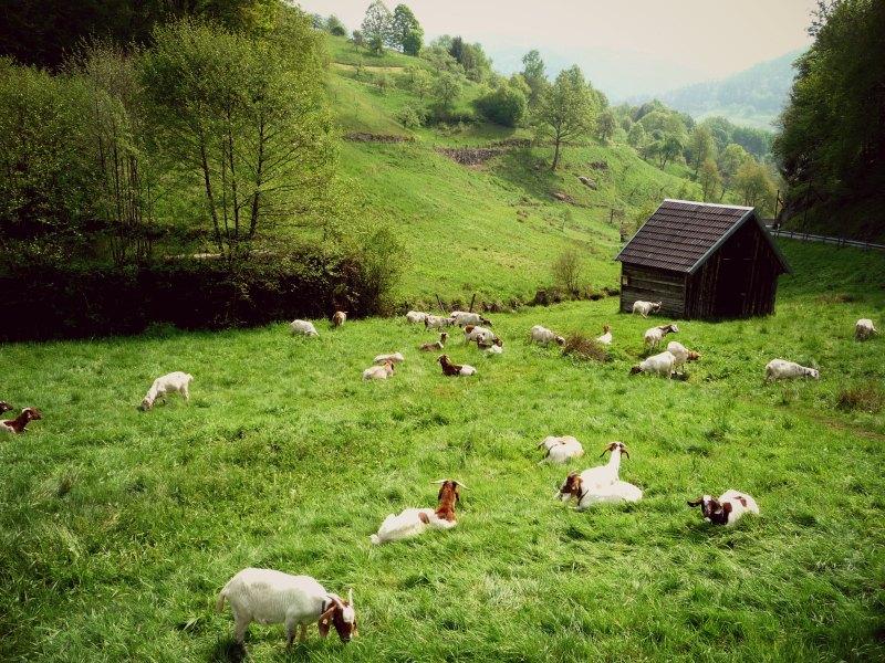 Der Ziegenpfad bei Forbach/Bermersbach