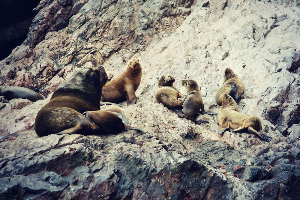 Nah dran: Seelöwen auf den Islas Ballestas