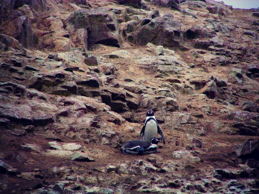 Humboldtpinguine auf den Islas Ballestas