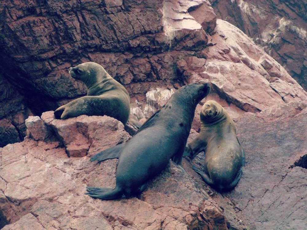 Seelöwen auf den roten Felsen der Islas Ballestas in Peru