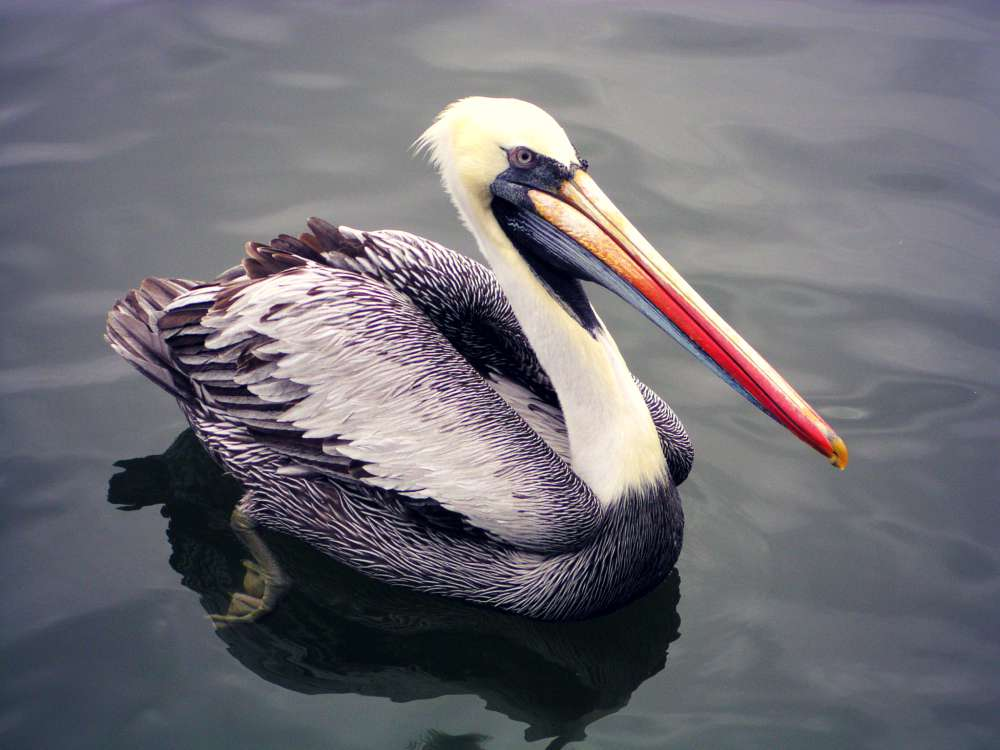 Islas Ballestas: Pelikan