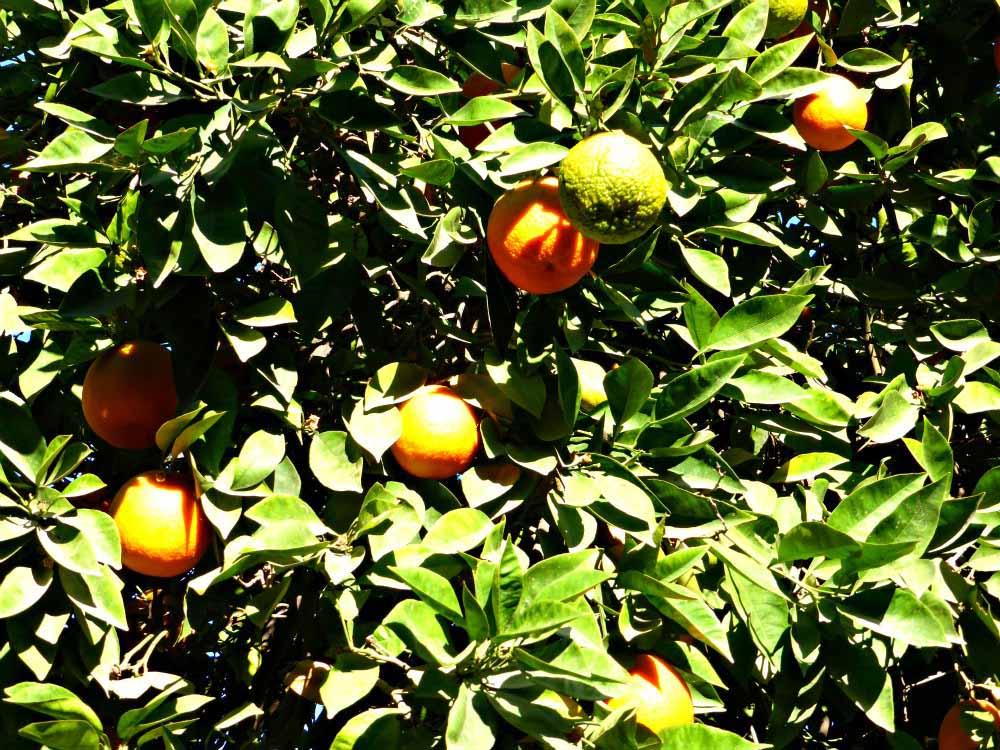 Orangenbäume im Bahia Palast