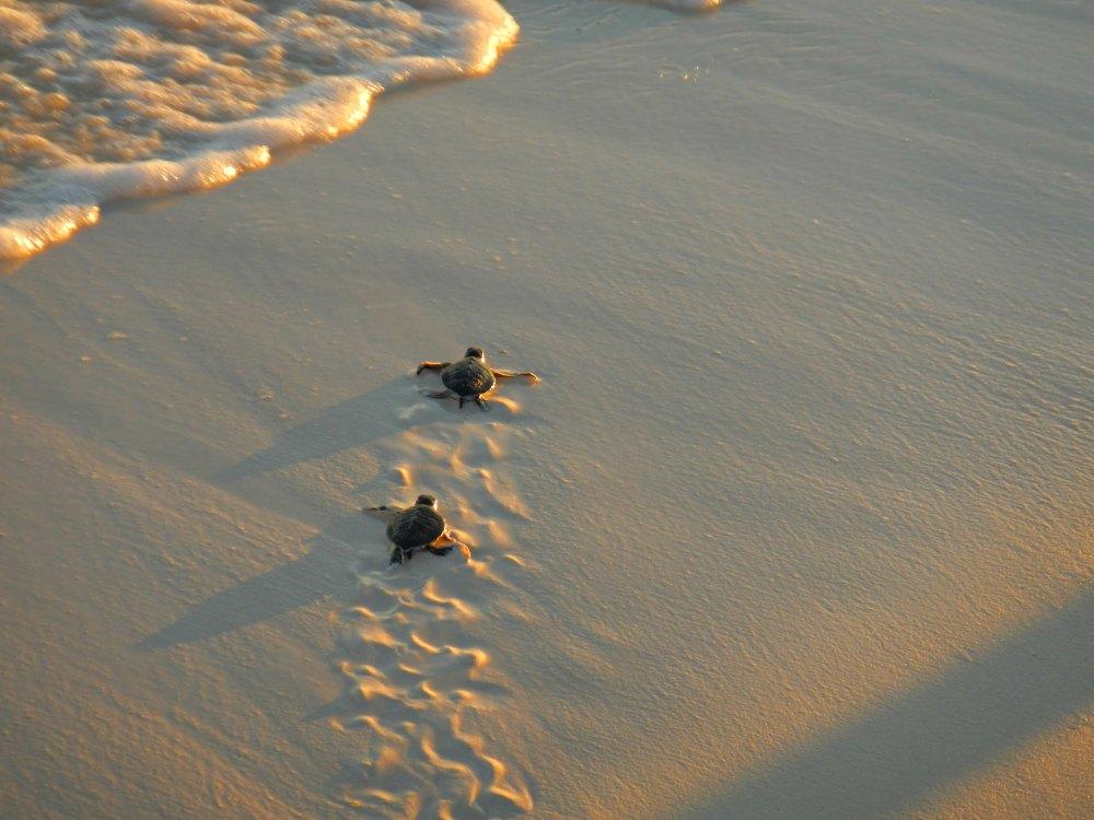Schildkröten auf Cayo Largo