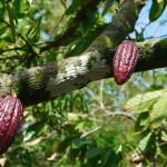 Kakaoplantage in Baracoa