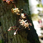 Baracoa: Kakaoblüte