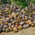 Baracoa - Auf der Plantage - Kokosnüsse