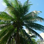 Plantagentour in Baracoa: Kokospalme