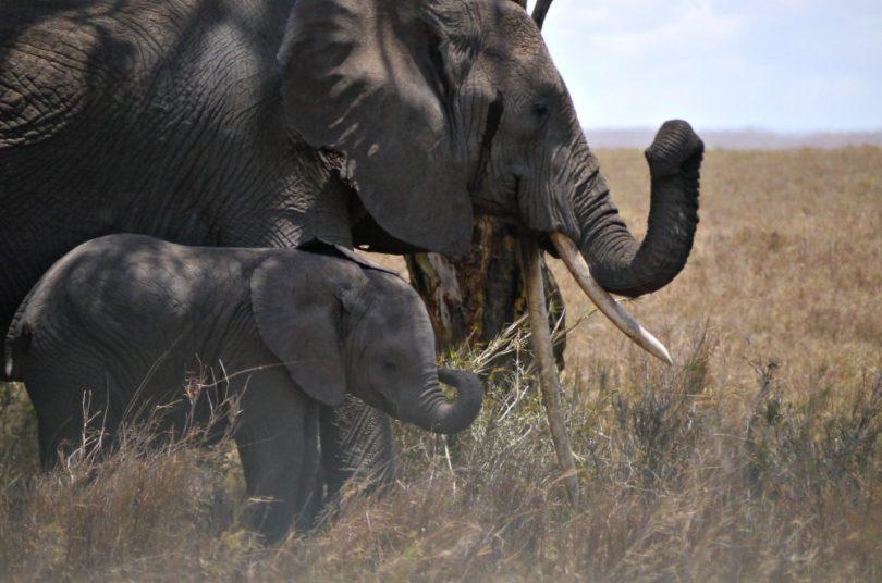 Elefanten in der Serengeti