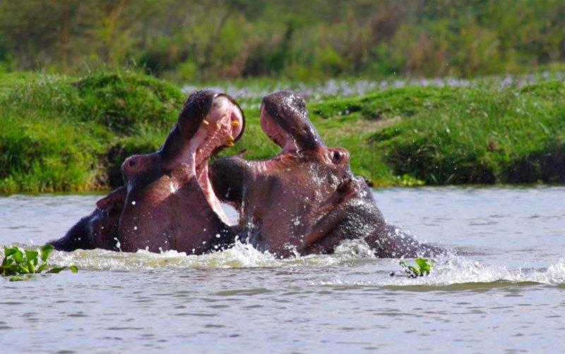 Flusspferde im Lake Naivasha
