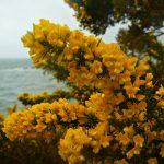 Blühender Ginster im Frühling - Irland
