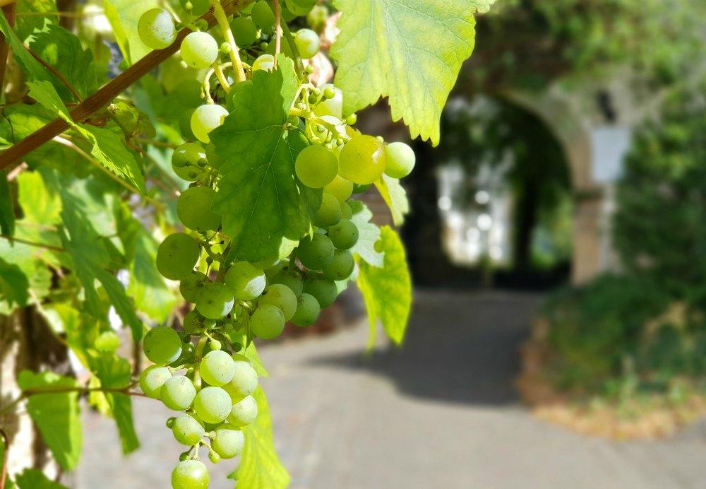 Weinreben im Naheland