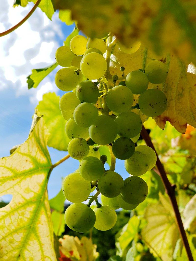 Weintrauben im Weinbaugebiet Nahe