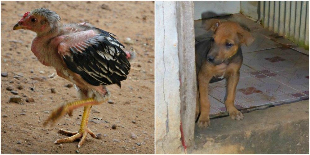 Homestay Chambok: Küken und Welpen