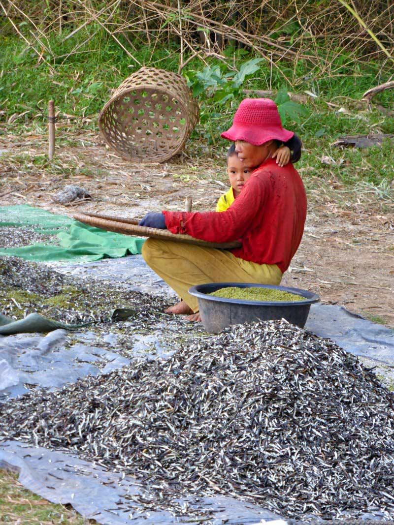 Landwirtschaft auf Koh Pen: Sesam-Ernte