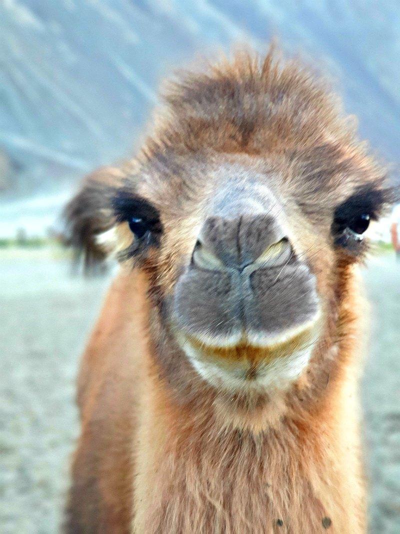 Baktrisches Baby-Kamel in Ladakh