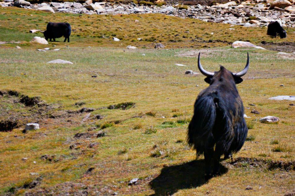 Begegnung mit Yaks in Ladakh