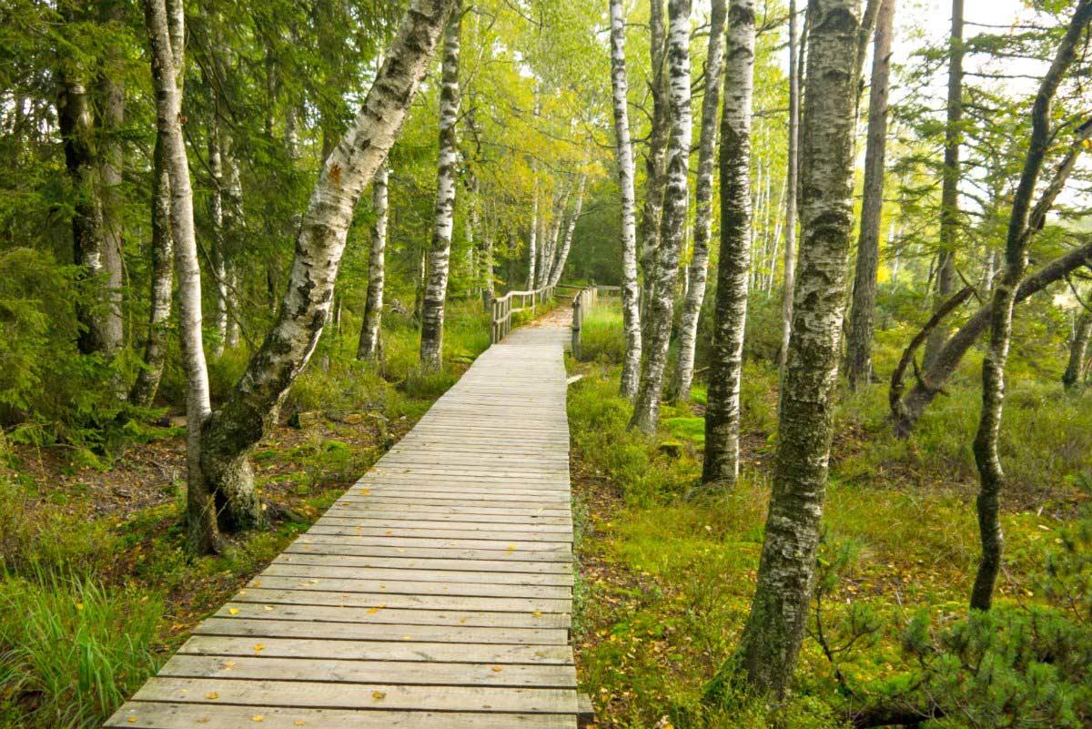 Auf Holzbohlenwegen durchs Hochmoor Kaltenbronn: Wanderung im Nordschwarzwald