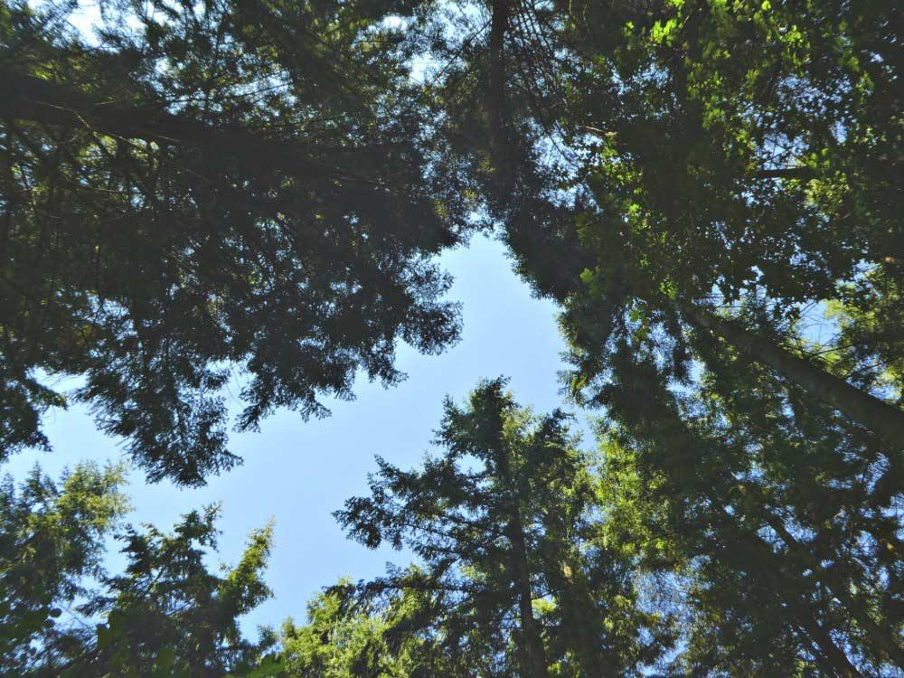 Baumwipfel auf dem Manderscheider Burgenstieg