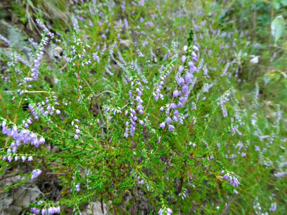 Lilafarbene Kleckse im Grün des Waldes