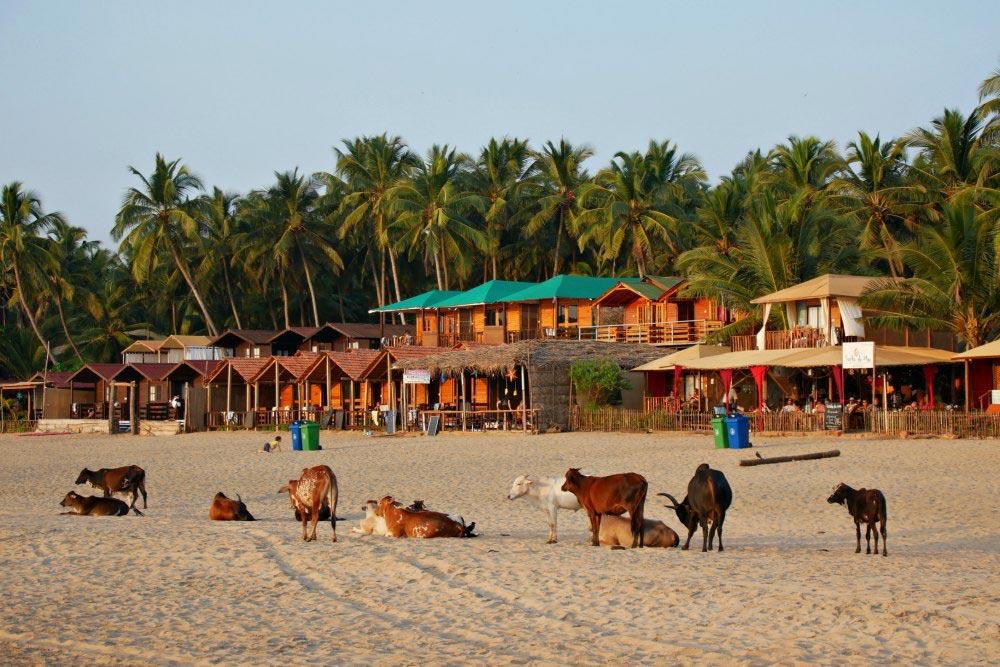 Kühe warten am Strand von Agonda auf den Sonnenuntergang