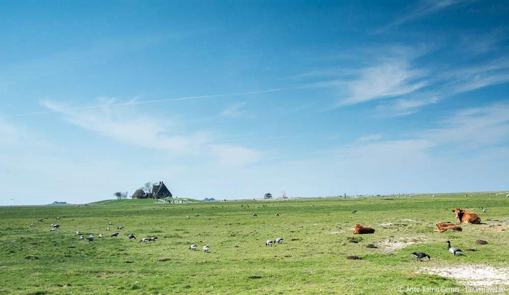 Deutschlands schönste Inseln: Ringelgänse auf Hallig Hooge | Bild: GoOnTravel