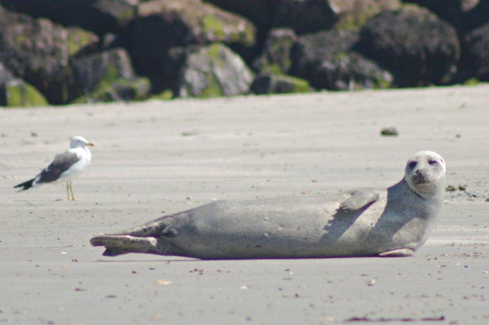Deutschlands schönste Inseln: Zu Besuch bei den Seehunden und Kegelrobben der Helgoländer Düne | Bild: Nordkap nach Südkap