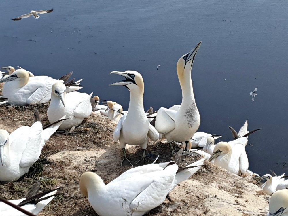 Basstölpel Kolonie auf Helgoland | Bild: Erlebe Schleswig Holstein