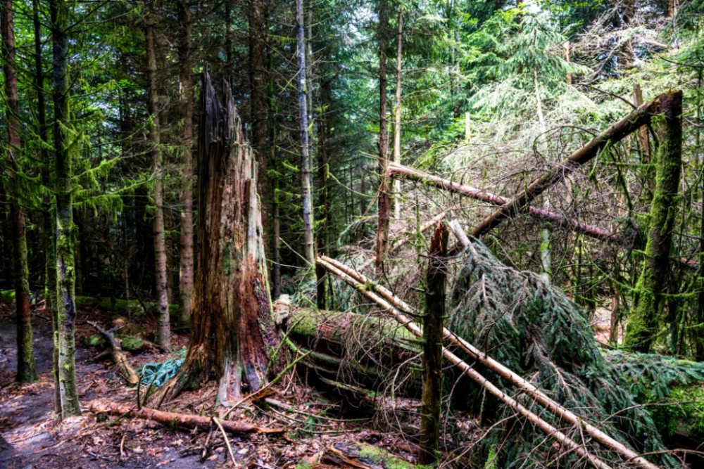 Werden und Vergehen liegen im Urwald nah beieinander; Bildnachweis: TMBW / Gregor Lengler