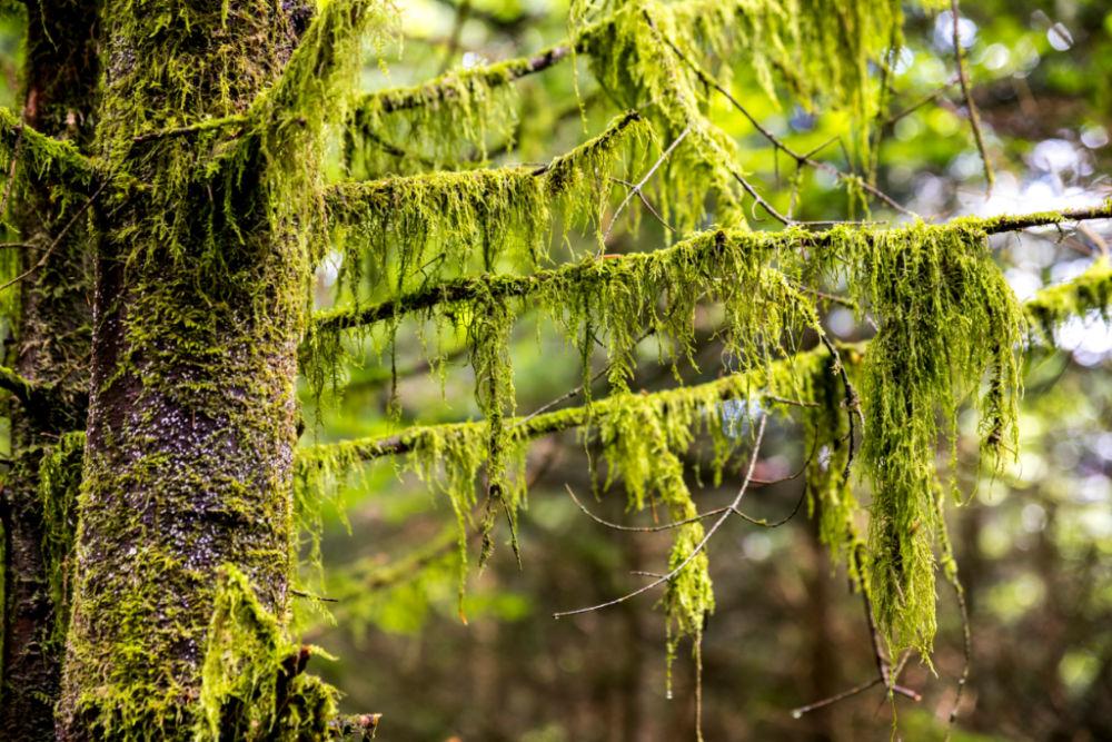 Weil es im wilden Wald bei der Bühler Höhe oft neblig ist, wächst Moos an den Ästen; Bildnachweis: TMBW / Gregor Lengler