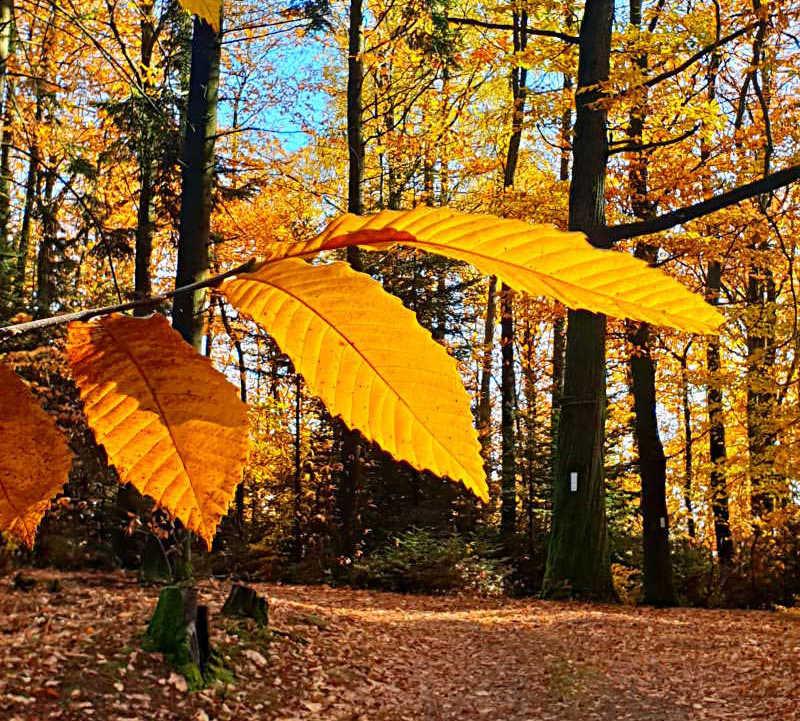 Herbstliche Stimmung: Die Blätter leuchten in Gelb- und Orangetönen