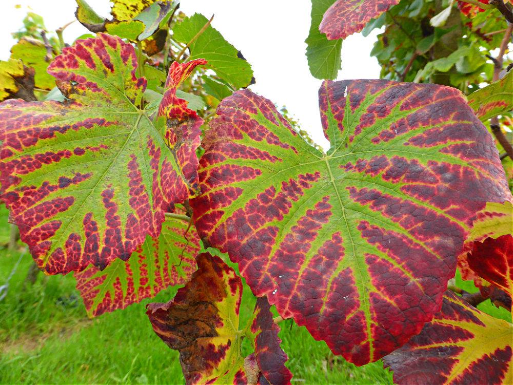 Das Laub der Weinreben färbt sich herbstlich rot