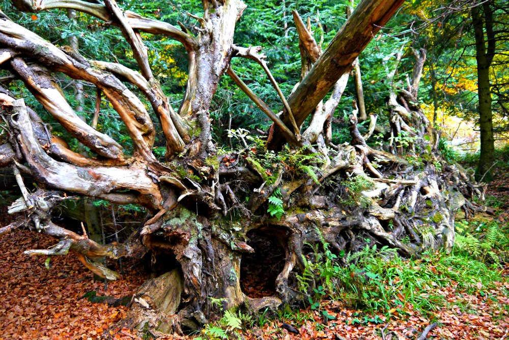 Wilder Wald: Wildnispfad im Schwarzwald