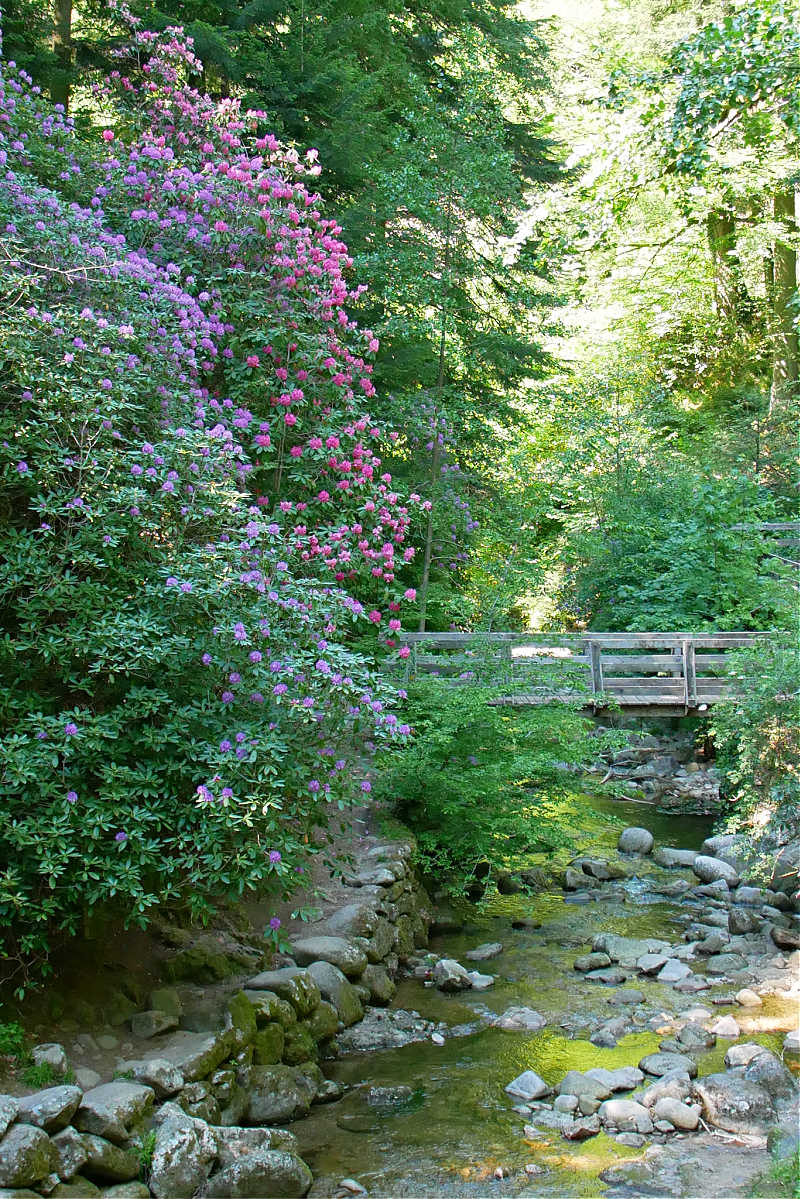 Rhododendronblüte bei den Geroldsauer Wasserfällen
