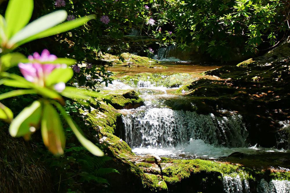 Rhododendronblüte an den Geroldsauer Wasserfällen