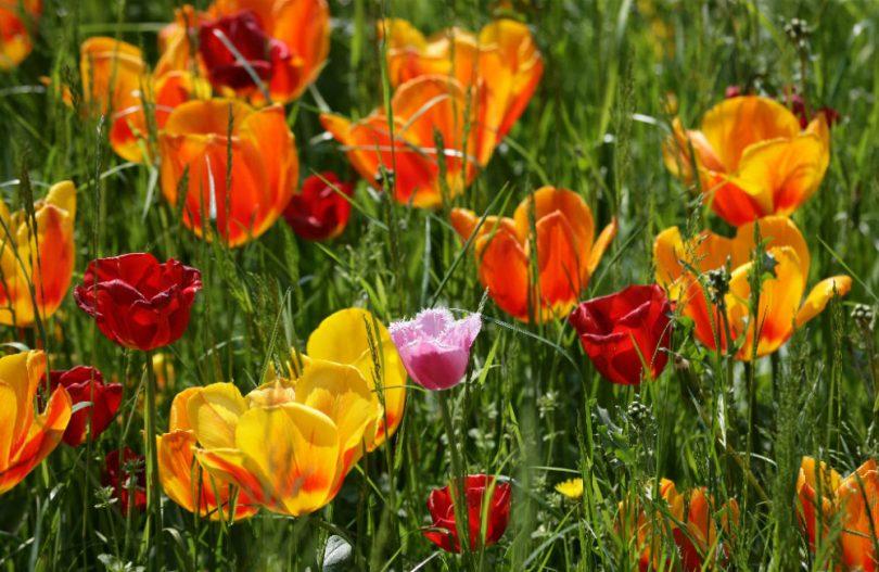 Blühende Gartenwelten - Mainau Tulpenwiese; Bildnachweis: TMBW / Achim Mende