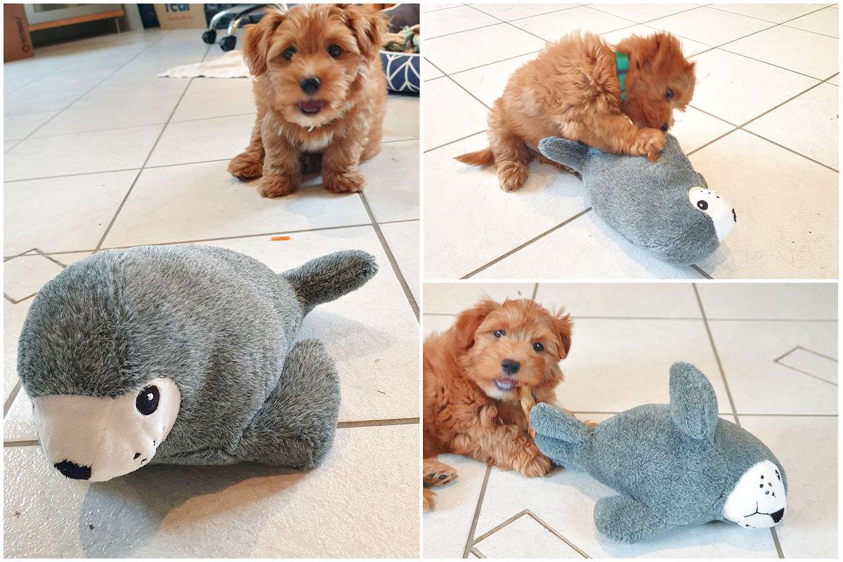 Tommy spielt mit seinem Seehund
