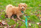 Hier kommt Havaneser Tommy: Vom Welpen zum Junghund
